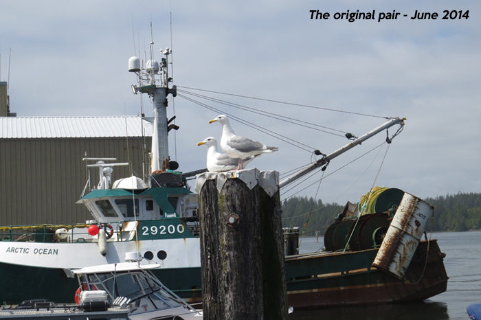 OriginalGulls