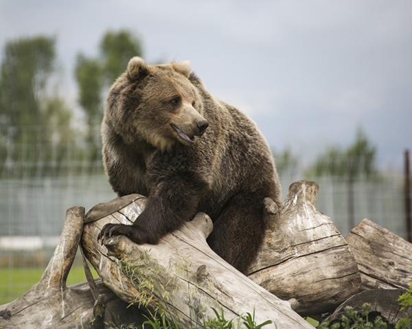 Brown Bear Beauty - LaMontagne Art